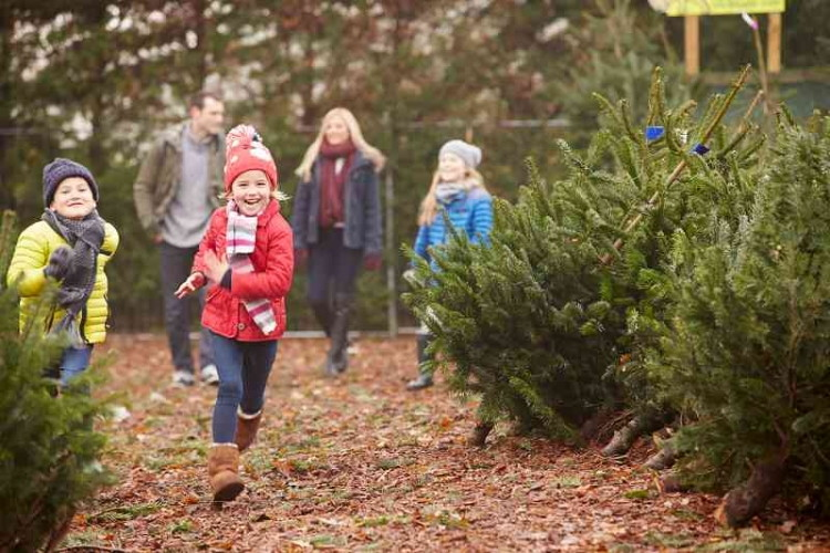 determine the best tree for your location and family - Christmas Tree Buy